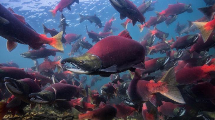 サーモンアームズでお馴染みのサーモンってどんな魚?鮭との違いは?